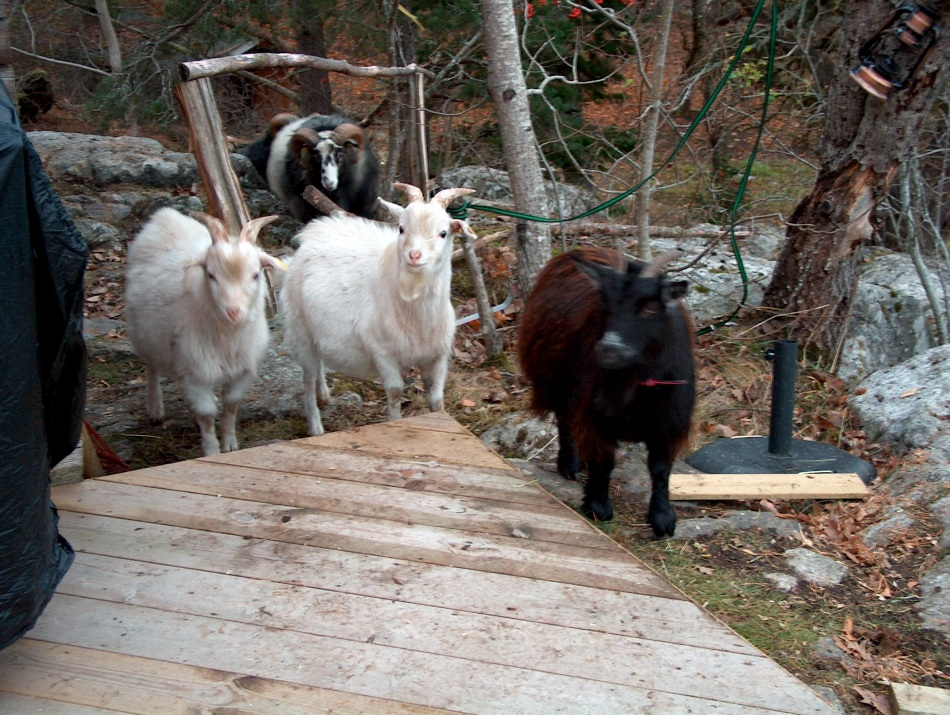 My new goats