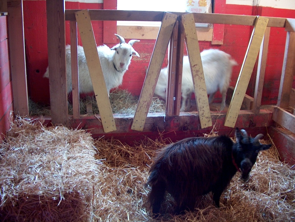 Happy goats cozy in the stable