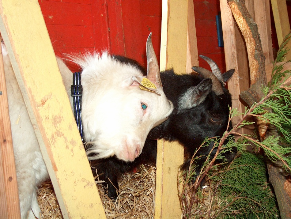 My new happy goats