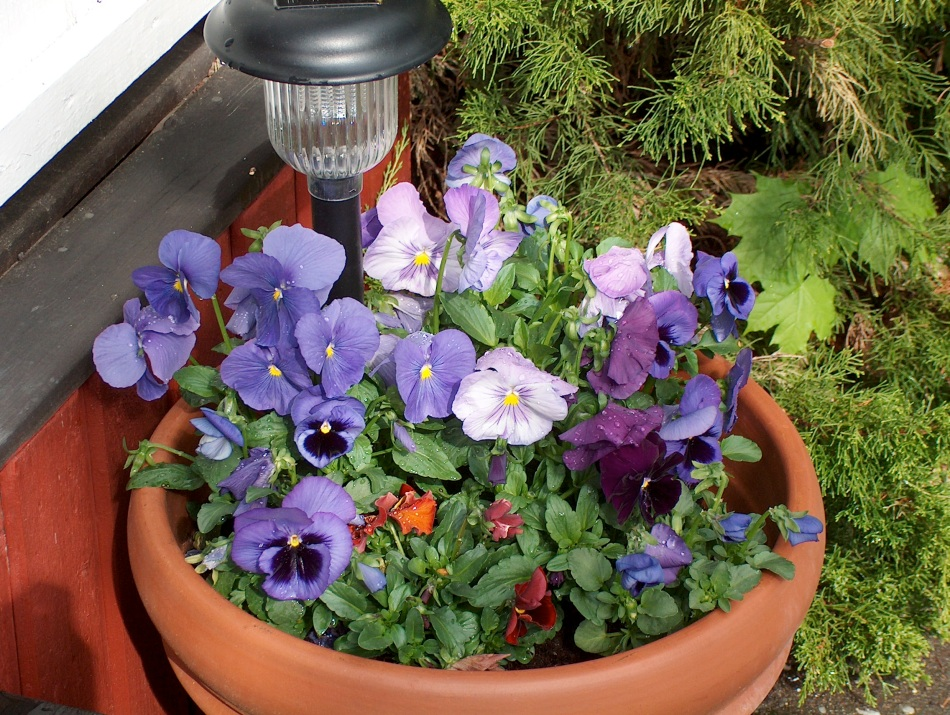 Potted pansies are also quite popular in Swedish gardens.