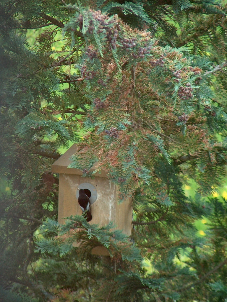 Bird setting up house at Gullringstorp
