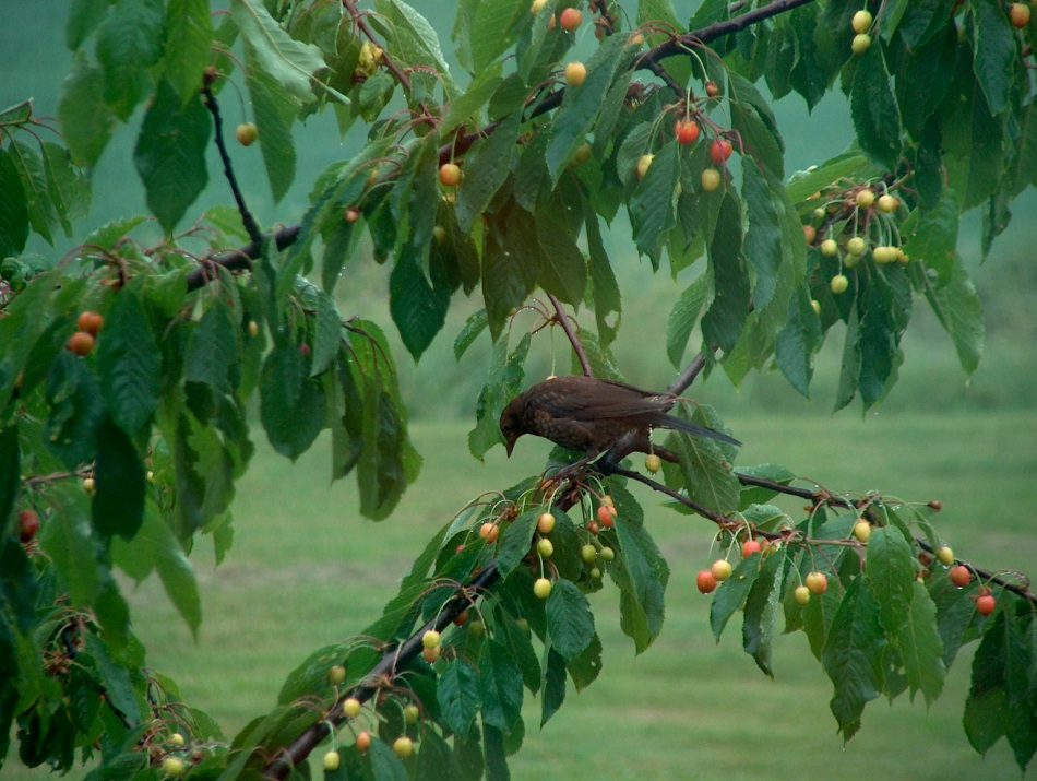 Bird enjoys cherries on a rainy spring day at Gullringstorp