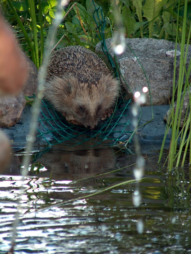 Our resident hedgehog has a drink at the pond