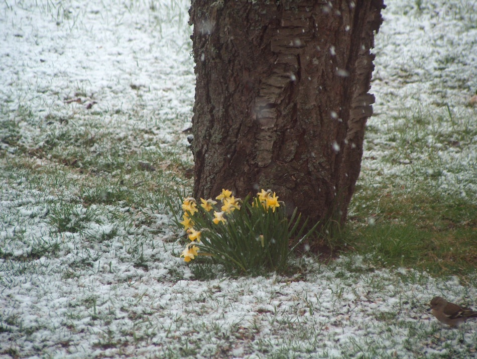 Spring comes through the snow