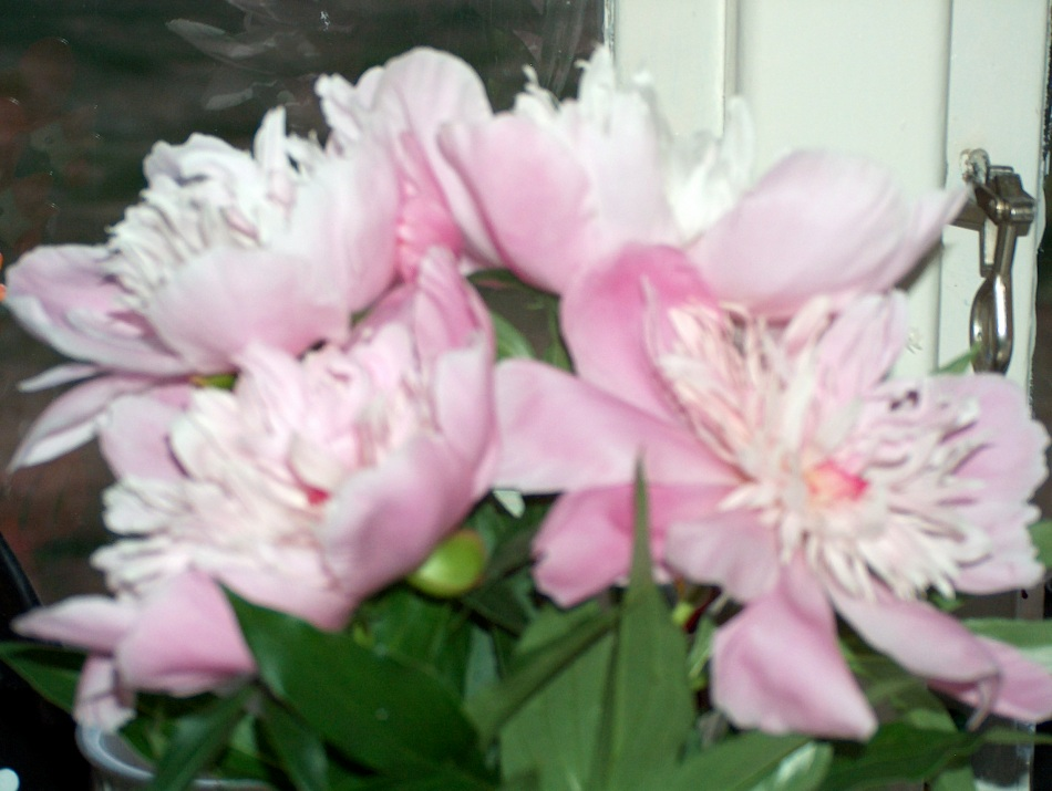 This is just one of my varieties of peonies, my favorite flower.