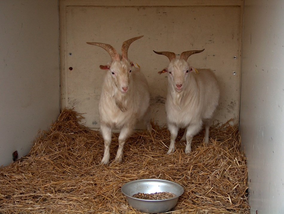 Jalle and Julius in the trailer. They had straw and grain to calm them.