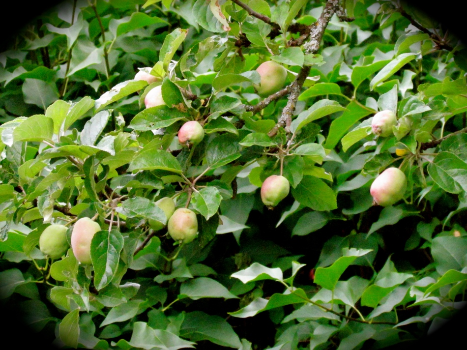 The apple trees are full of little baby apples