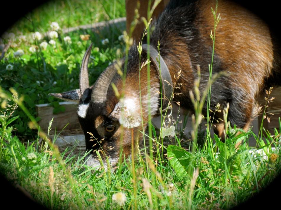 Hilda enjoying fresh green grasses in her pasture.
