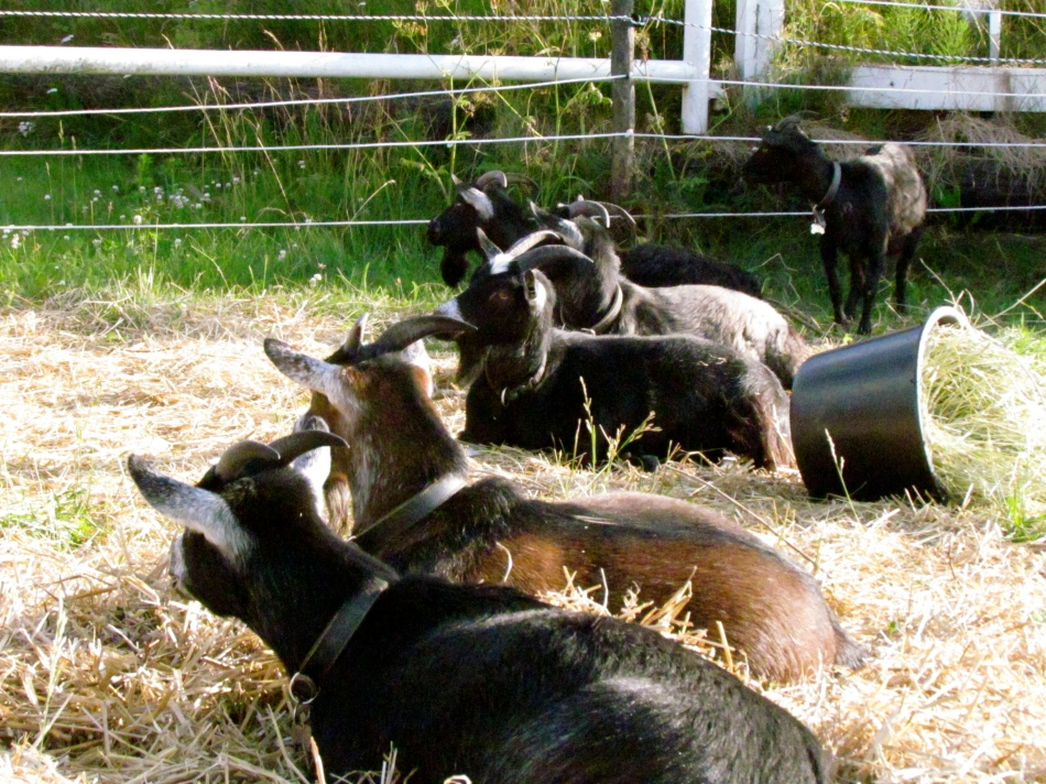Here you can find all my pregnant, non pregnant goats taking a rest while little Flynn stands with them.