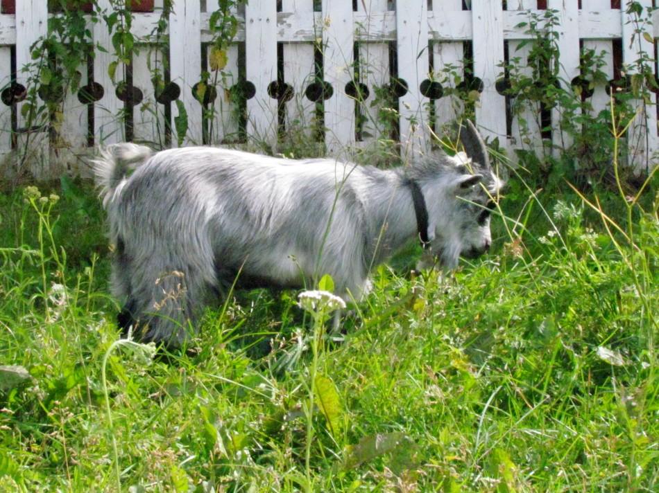 Balder enjoying all the fresh new grass
