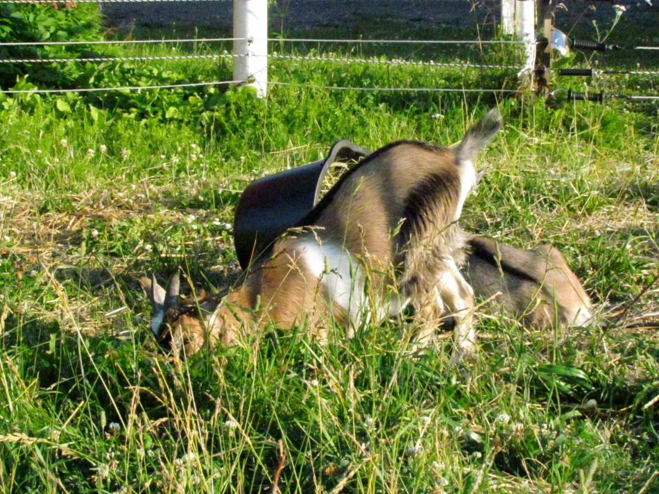 Nakoa enjoying the grasses