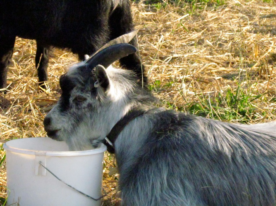 Balder and the veggie bucket