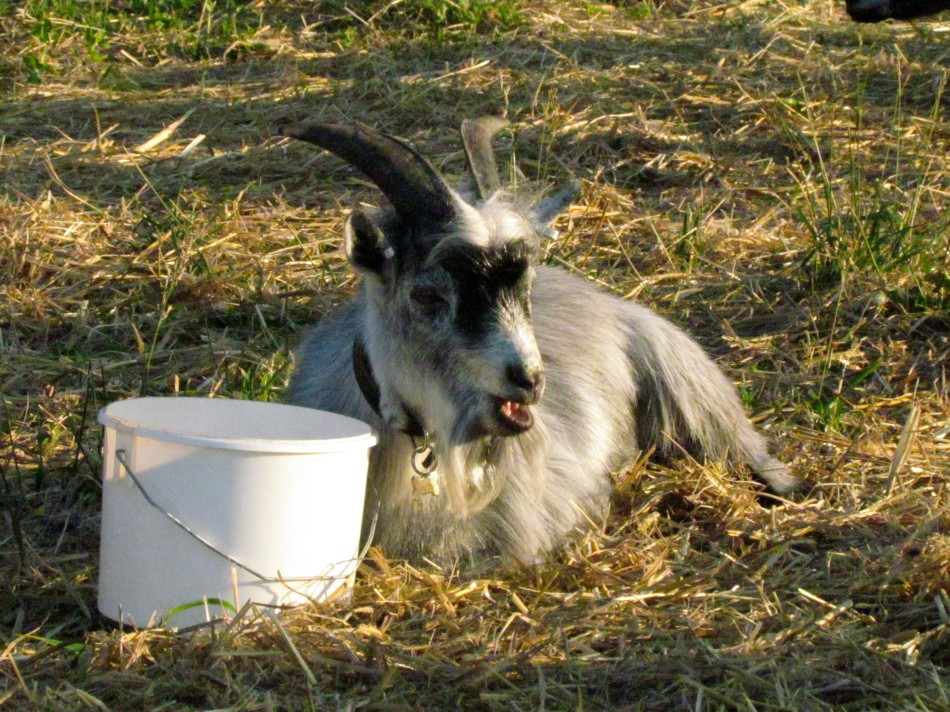Balder and his veggie bucket