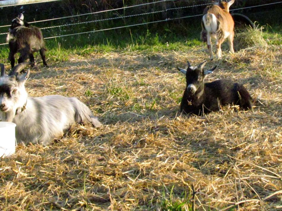 Resting goats