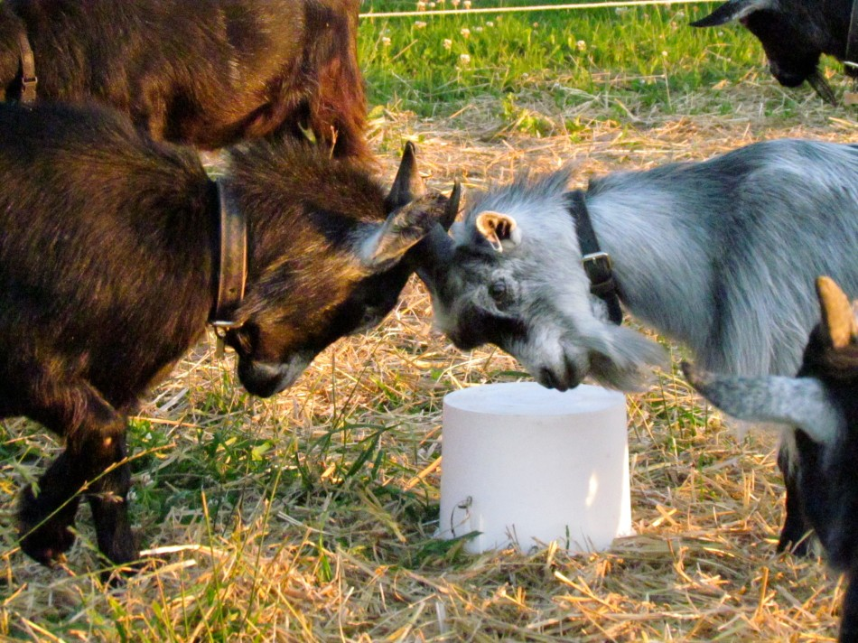 Balder and Keriana meet and establish herd rank