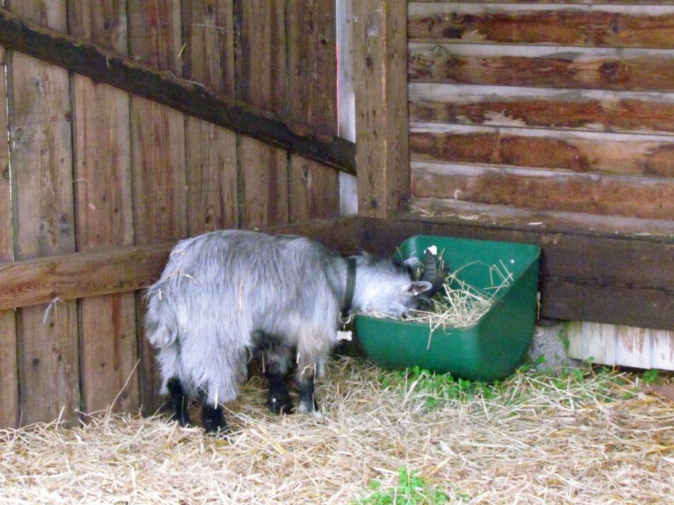Balder enjoying fresh hay, tastes better outside!