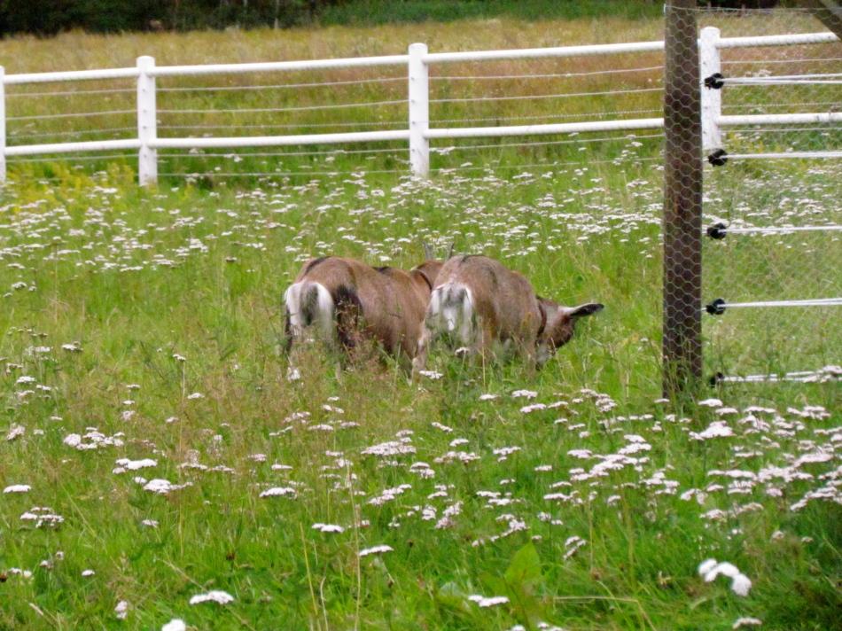 Chiyoko and Nakoa find yummy grass alongside the boy's enclosure.