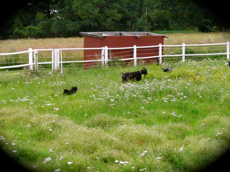 Frida and the others out in the far end of the enclosure, followed by my trusty herd dog Max