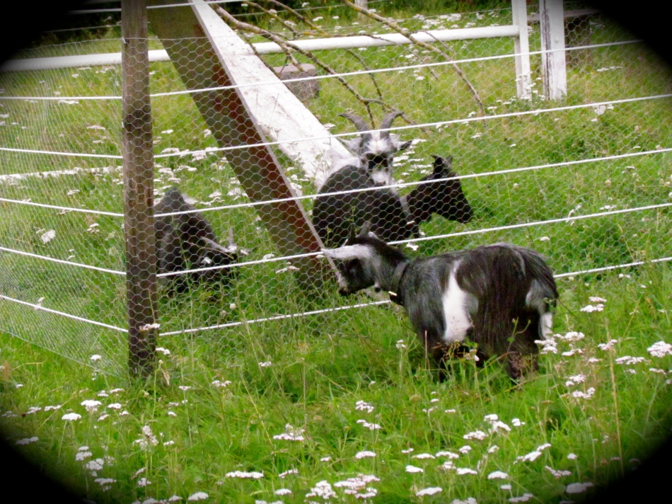 Nanna looks really close to that fence, but believe me, she has respect for it's unpleasant  jolt.