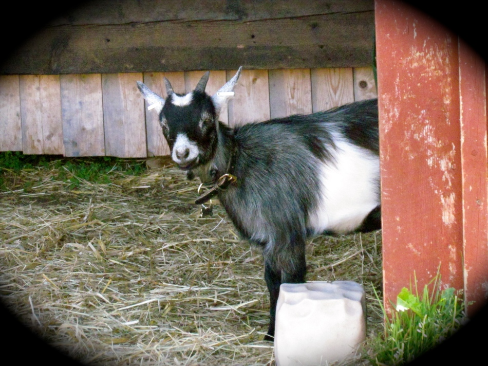 Nanna is a Pygmy goat, she is tinier and has a flatter face than the Nigerian Dwarfs.