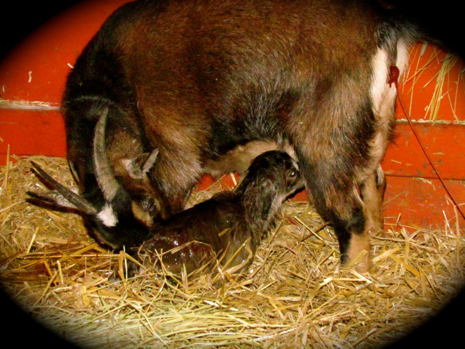 Just minutes old and this baby knows instinctively that there is milk, somewhere