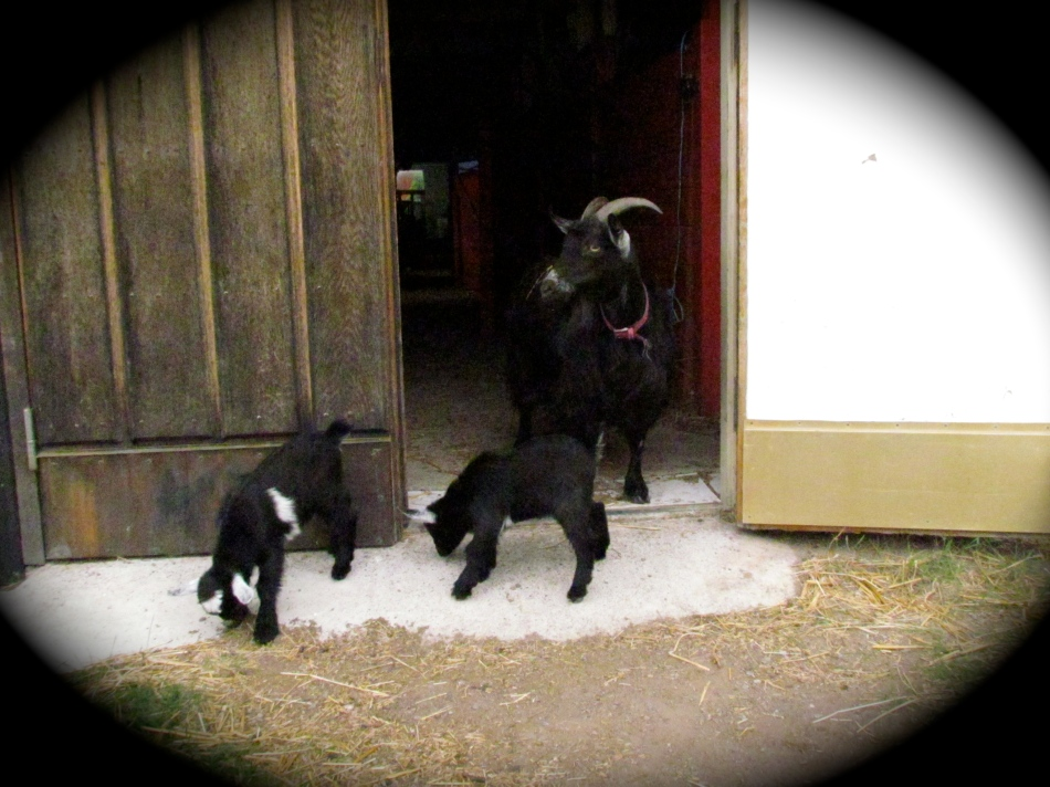 The babies step out as Frida looks toward the other goats in the enclosure