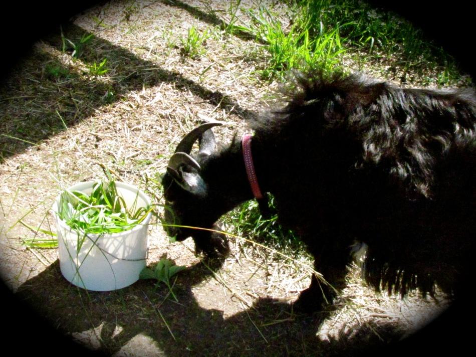 Frida enjoys her strawberry greens