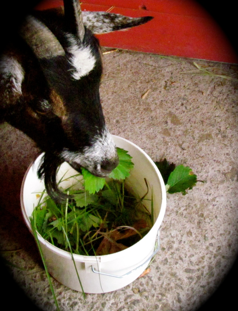 Hilda eats her fresh greens inside while waiting to go out