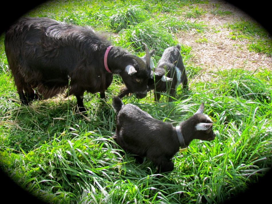 Frida with Poppy and Pansy enjoying fresh grass  together