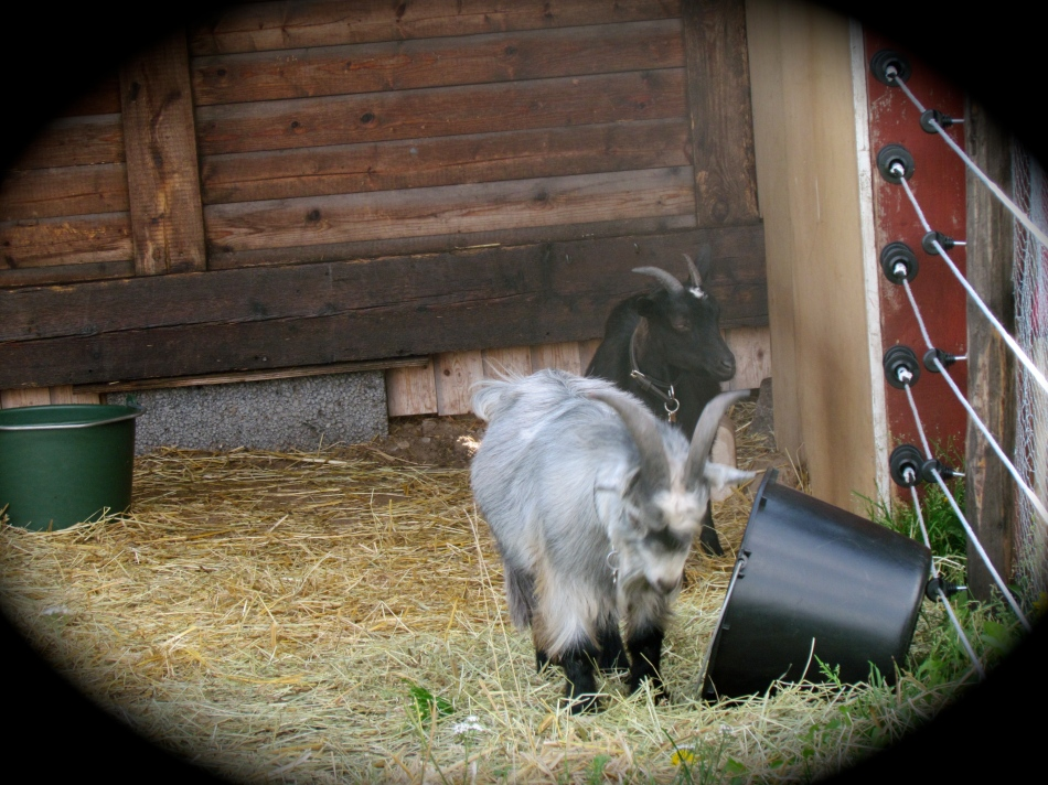 The boys were more interested in the overturned hay bucket