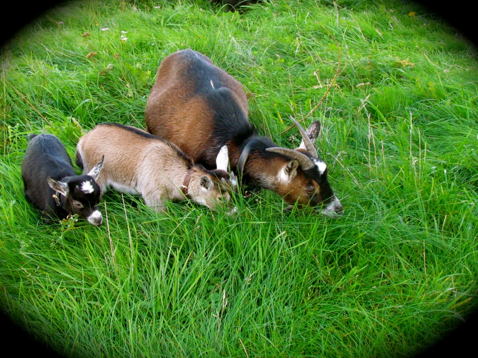 Hilda and her babies Peanut and Little Man stay together and enjoy the fresh grass