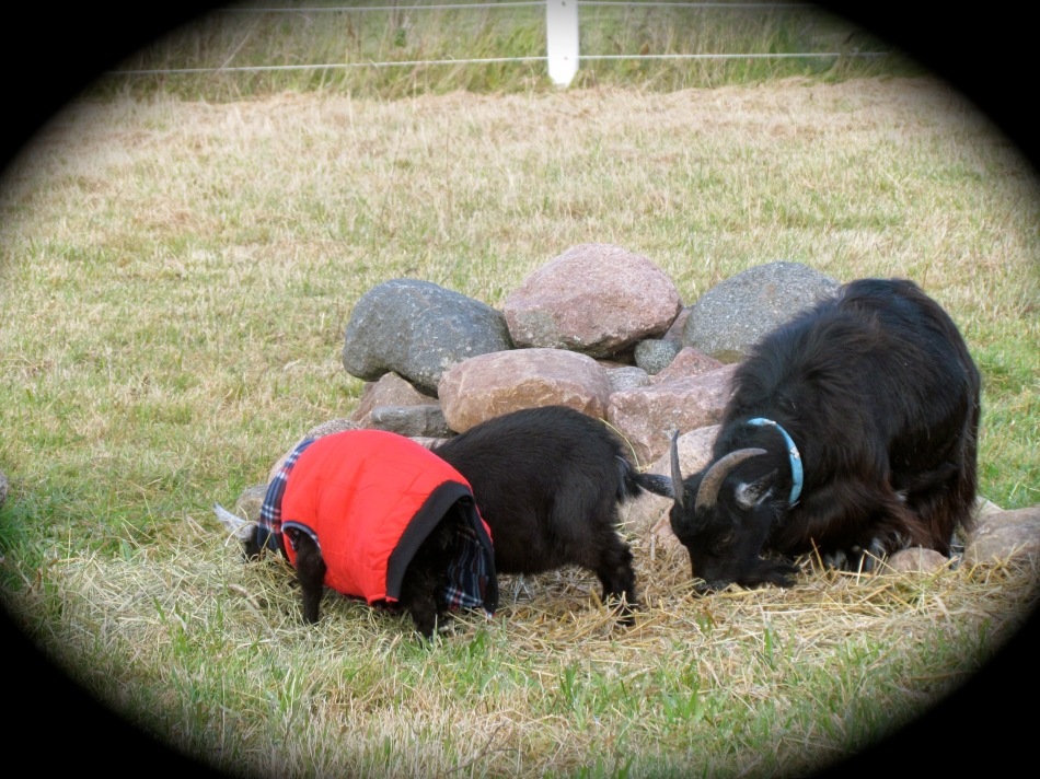Sorry this is a heads down photo. They all seemed more interested in the fresh hay than a photo-op! Frida has a wonderful long and luxurious warn coat of fur , so no coat needed for her. Poppy is in her new winter coat, but looks like Pansy just ran out of hers. Like all mothers of large families, I am both economical and depend on hand-me-downs. Pansy now has a smaller winter coat that used to be Max's.