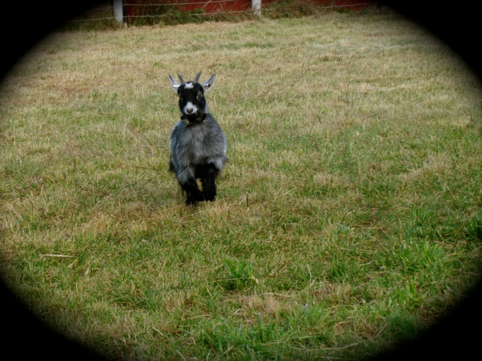 Nanna running at full speed! Nanna is a Pygmy goat and has a beautiful dense coat, so she is warm.