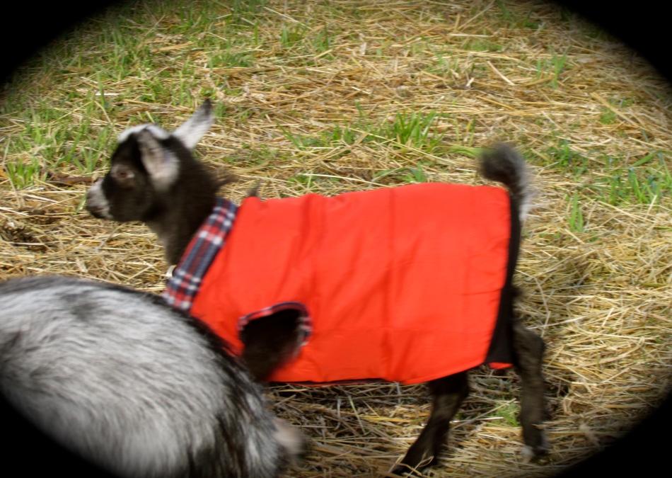 Poppy in her new winter coat