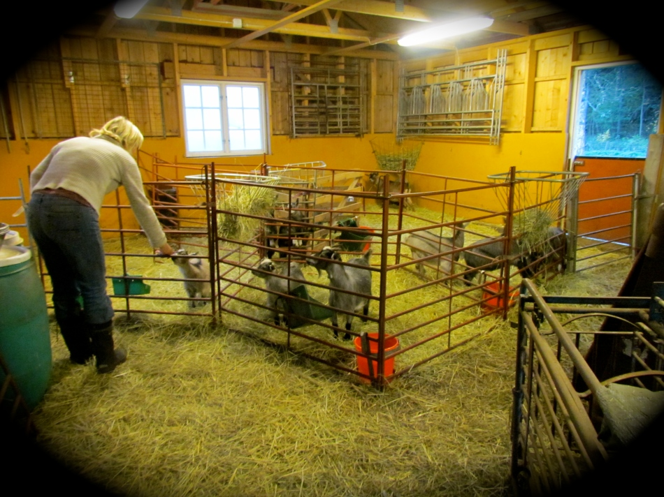 Kristina and some of  her Pygmy goats. Our new babies are in the first section in the barn.