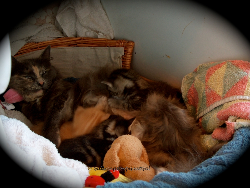Tasha as a baby kitten with mommy Lisa and her litter mates