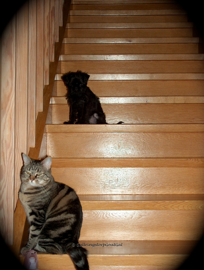 With his kind of new friend close by, Little MAx attempts the stairs. There are so many and he is so  tiny.
