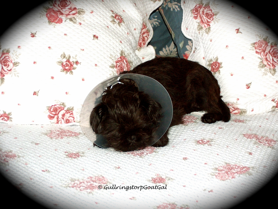 Max with his protection collar after his neutering. Where else to rest but mommy's soft comfy bed