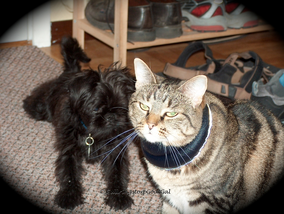 "Max checking out Tasha's ""cool neck wrap. Tasha had some trouble with the heat so we are keeping her safe and cool with necklace."
