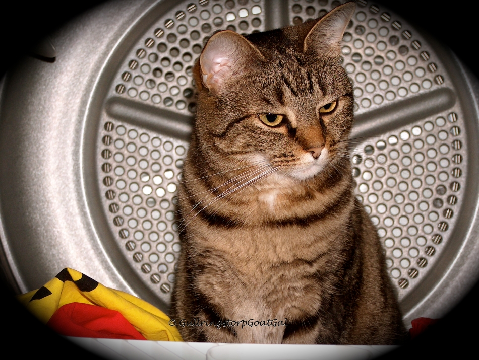 Tasha looks right at home in her dryer. Maybe she loves it in the dryer because she was born in a laundry room!