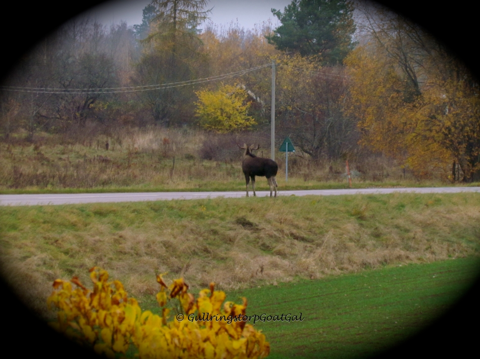 The large bull moose male, waits by the road before crossing