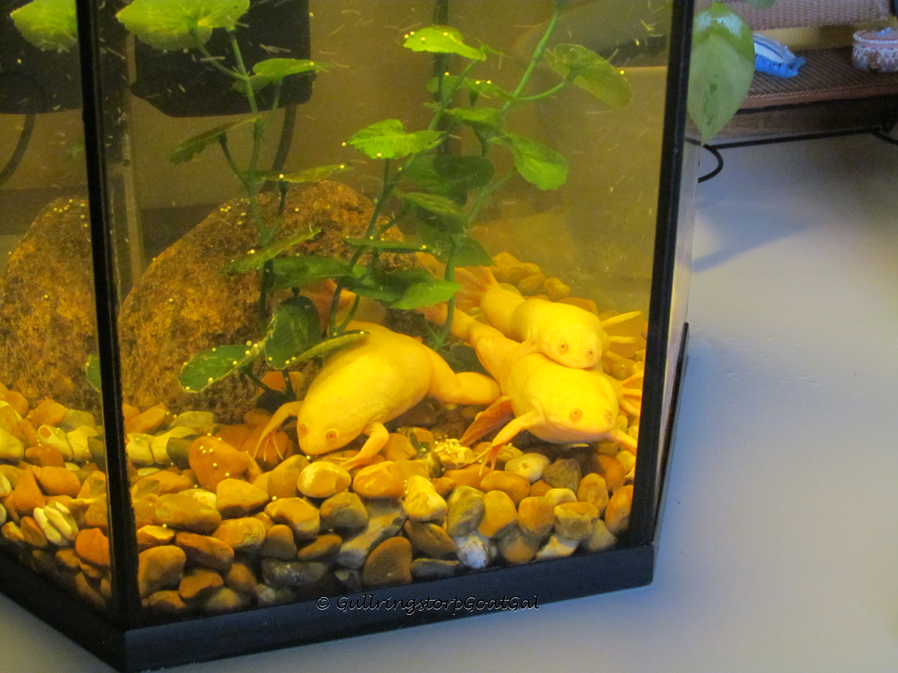 pet of the day albino african clawed frogs xenopus laevis