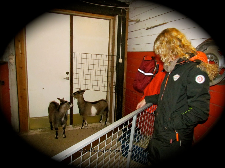 After meeting all the other goats at Gullringstorp, the new owners finally meet Chiyoko and Nakoa