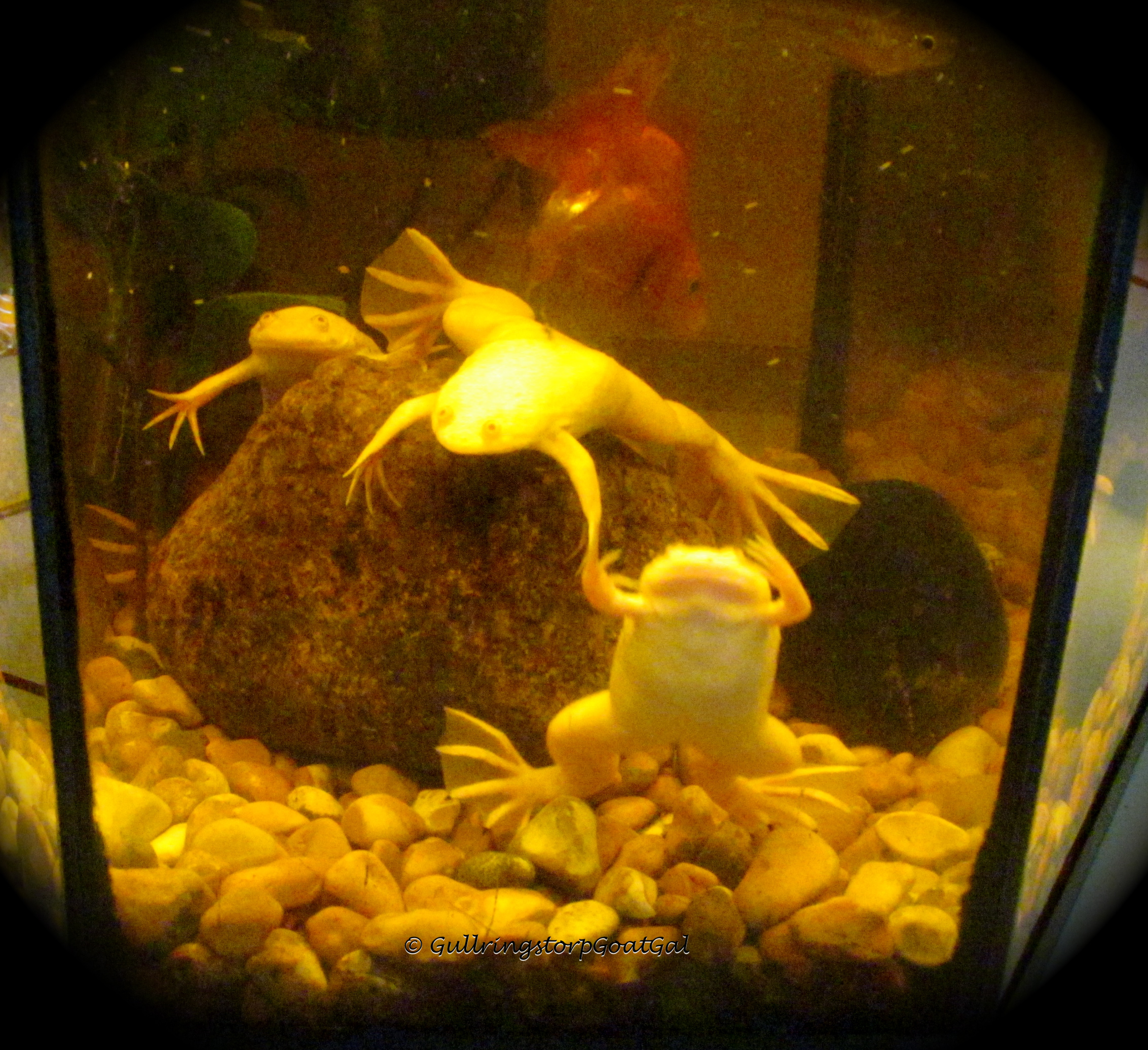 Pet of the day albino african clawed frogs xenopus for Do fish make noise