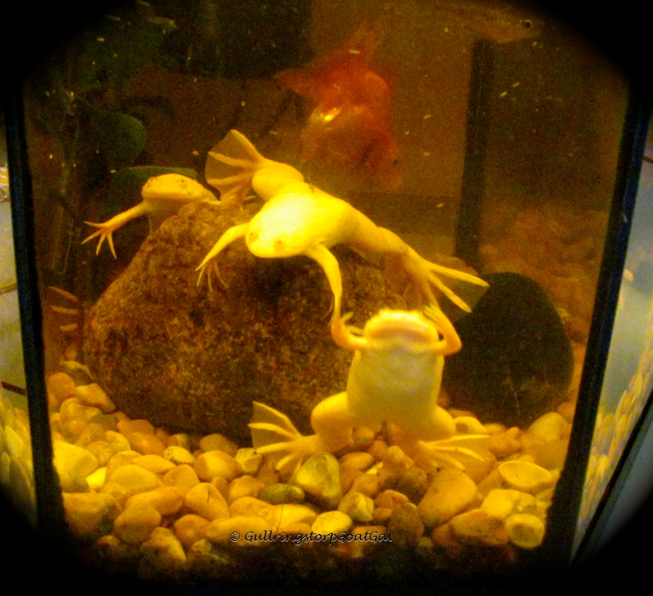 There are all 3 of our little frogs and a companion gold fish who soon out grew the small tank and was moved to our larger tank