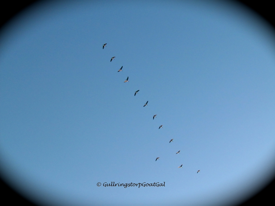 These geese, on the other hand, do seem to mind the cold temperatures and I am sure are heading for warmer temperatures