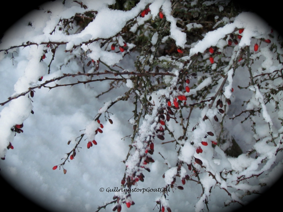 These tiny delicate berries don't seem to mind the snow nor the cold temperatures