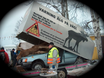 A vendor speaks on the dangers of when bull moose meets vehicle