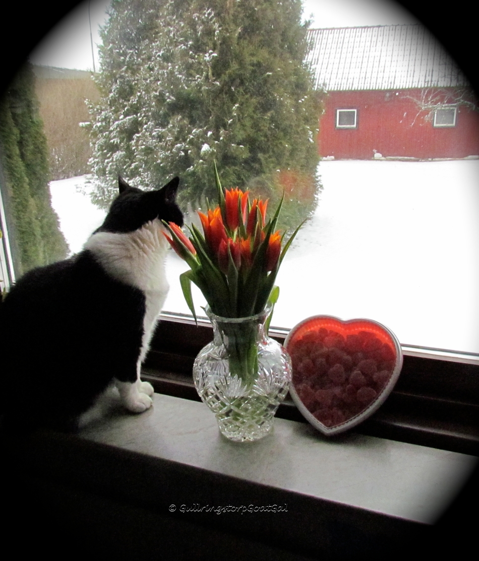 Swedish Valentine's Day with tulips and beautiful heart candies