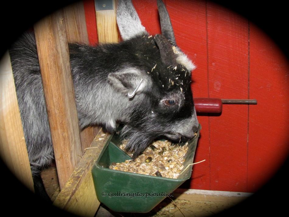 Nanna enjoying her grain fro dinner last evening. What a good girl !